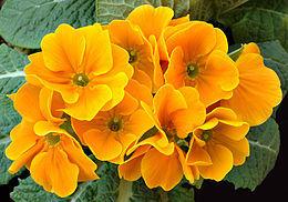 Çuha Çiçeğinin Romatizmaya Faydaları