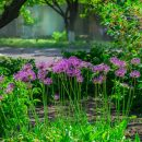 Allium, giant onion, Giganteum in full flower growing in the garden.