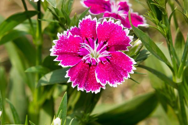Гвоздика – цветок Зевса