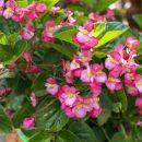 Begonia Semperflorens in Chon Buri Province of Thailand.
