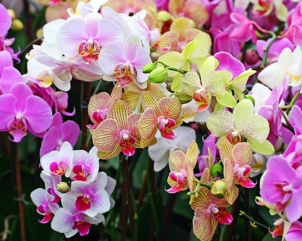 Эта чудесная орхидея