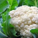 close-up of cauliflower with morning dew