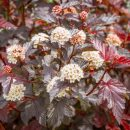 Flowering physocarpus with red leaves and white flowers. Also called Ninebark a popular red leaved shrub for gardens